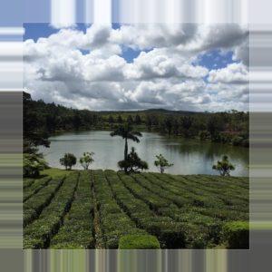 Mauritius - Teefelder