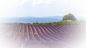 Lavender Fields Verdon